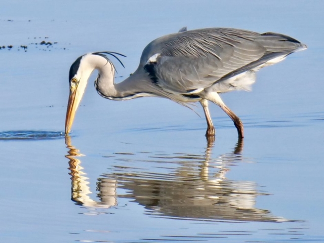 Grey Heron by Rob Porter-Jan 20th, Oxey Creek