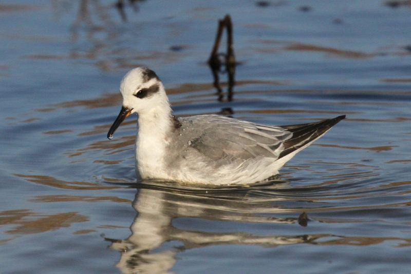 Grey Phalarope by Bob Marchant - Jan 3rd, Hook-with-Warsash