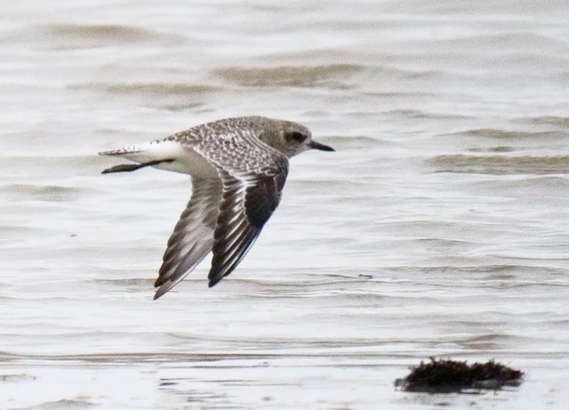 Grey Plover by Rob Porter-Jan 4th, Keyhaven