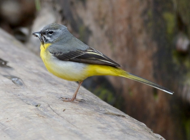 Grey Wagtail by Dave Levy - Jan 7th, The Vyne