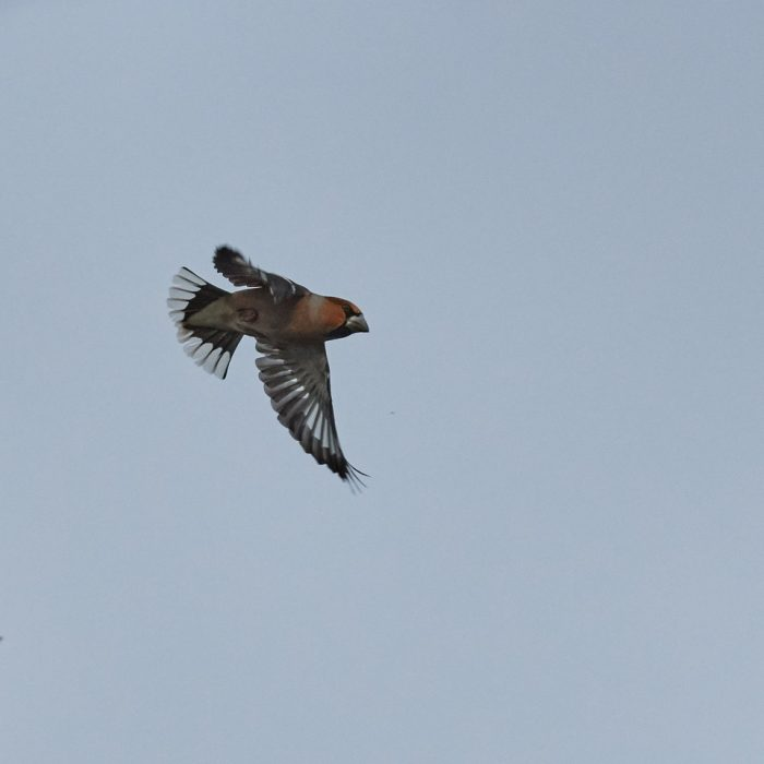 Hawfinch by Martin Bennett - Jan 26th, New Forest