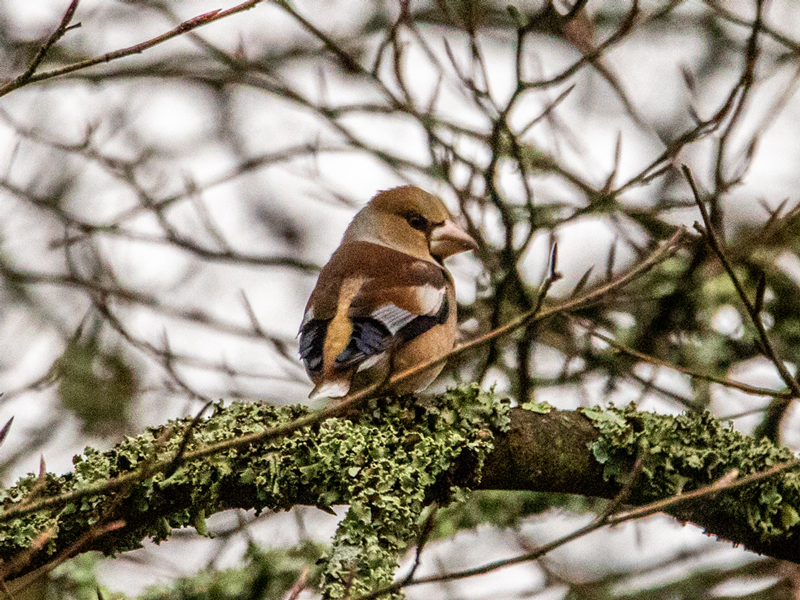 Hawfinch by Mike Duffy - Jan 24th, Denny Wood