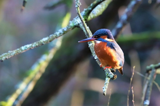 Kingfisher by Brian Cartwright - Jan 12th, Anton Lakes