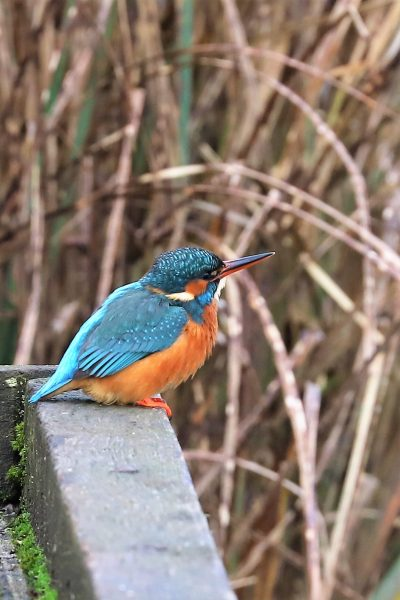 Kingfisher by Brian Cartwright - Jan 7th, Anton Lakes