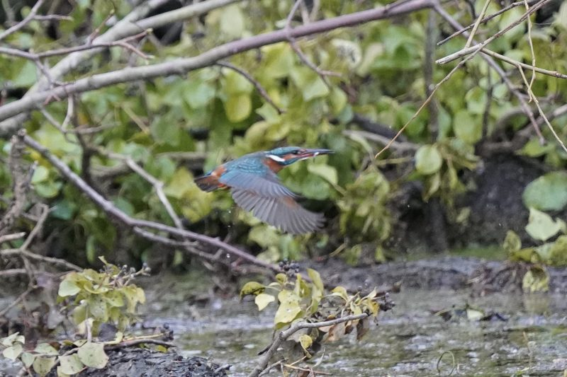 Kingfisher by John Scamell - Jan 8th, Woodmill