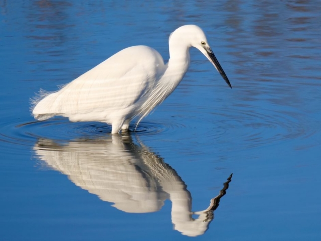 Little Egret by Rob Porter-Jan 10th, Oxey Marsh