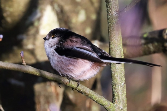 Long-tailed Tit by Brian Cartwright - Jan 15th, Anton Lakes