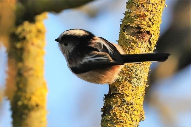 Long-tailed Tit by Brian Cartwright - Jan 1st, Anton Lakes