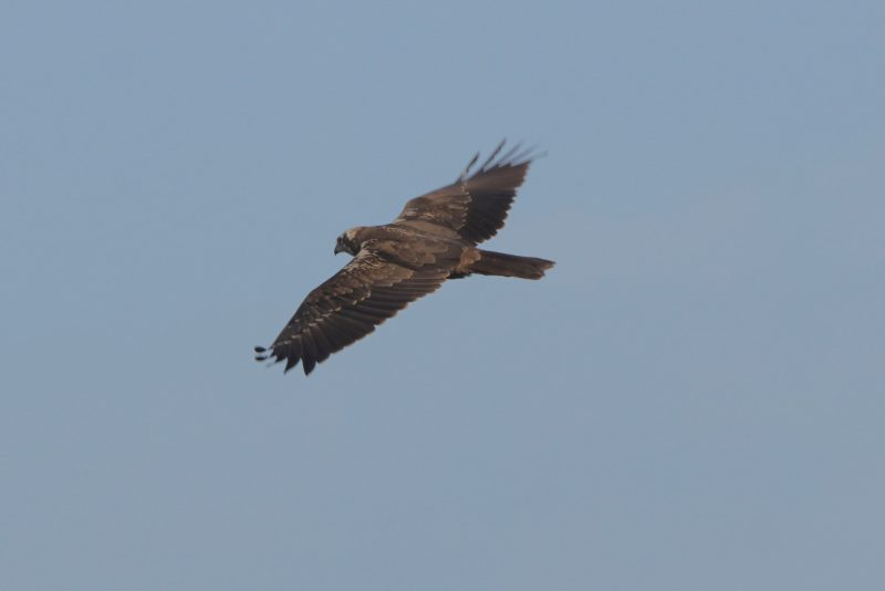 Marsh Harrier by John Scamell - Jan 7th, Hampshire