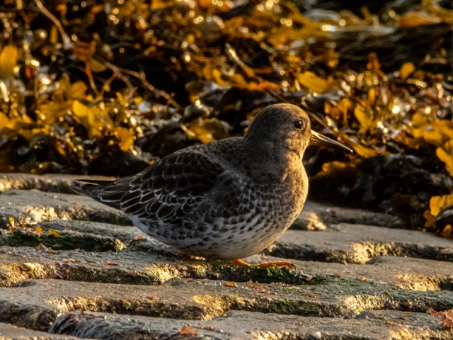 Purple Sandpiper by Mike Duffy - Jan 13th, Pennington Marshes