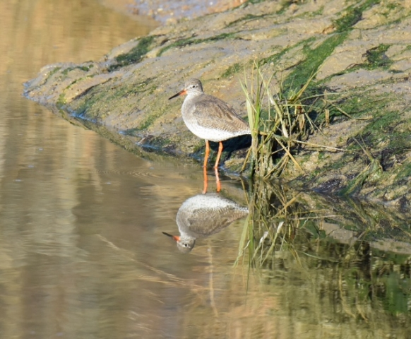 Redshank by Peter Hyde - Jan 21st, Hamble