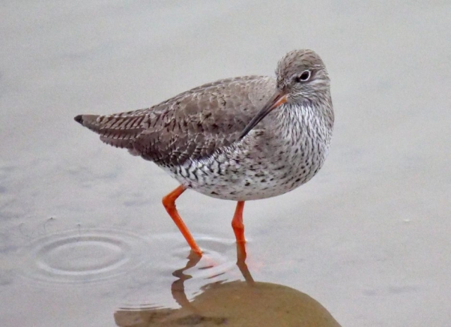 Redshank by Rob Porter - Jan 4th, Keyhaven