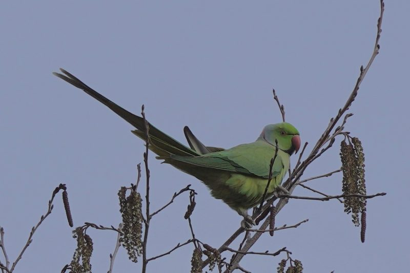 Ring-necked Parakeet by John Scamell - Jan 7th, Hampshire