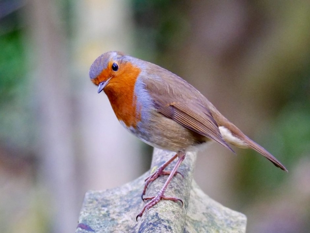 Robin by Rob Porter-Jan 11th, Southampton Common