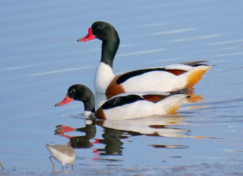 Shelduck by Rob Porter-Jan 20th, Oxey Creek