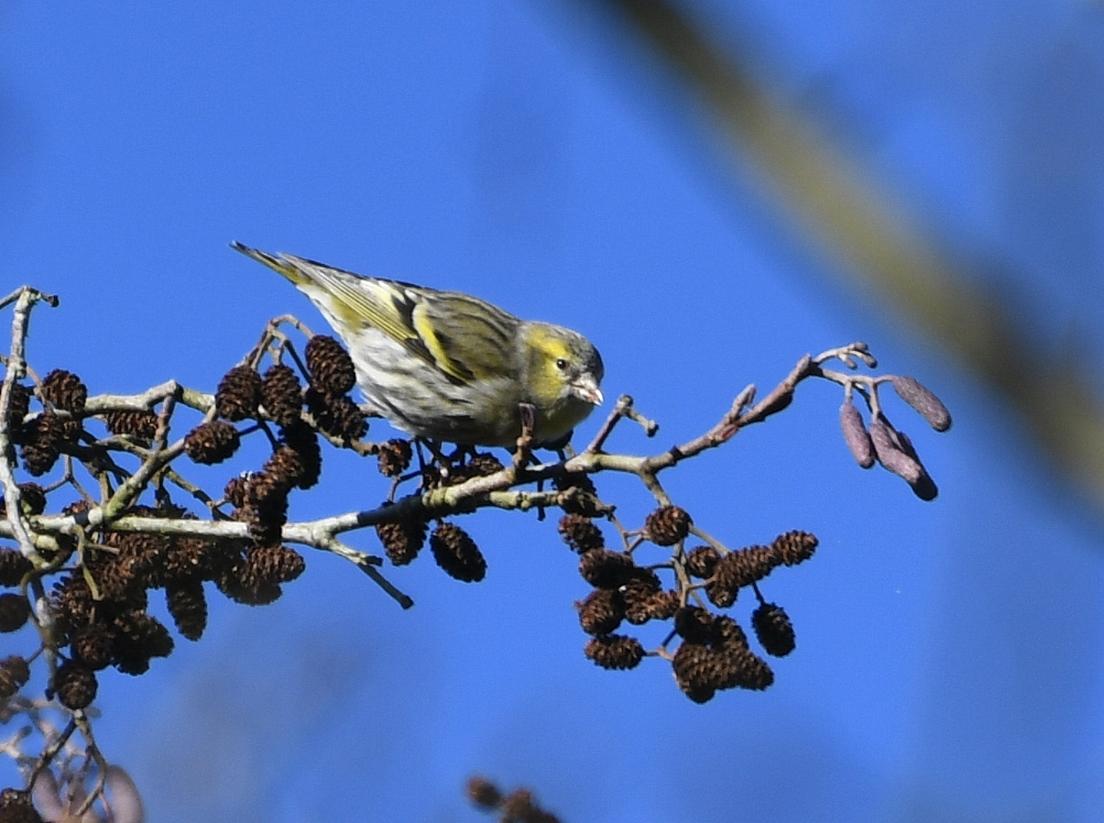 Siskin by Dave Levy - Jan 19th, Blashford Lakes