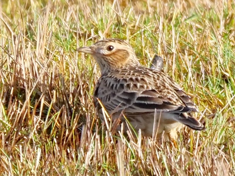 Skylark by Rob Porter-Jan 20th, Oxey Marsh