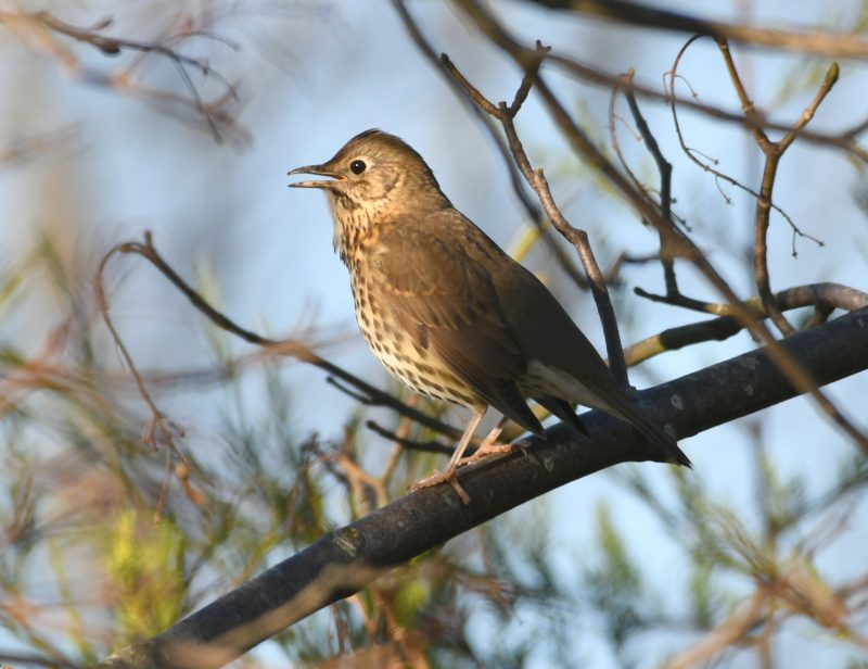 Song Thrush by Dave Levy - Jan 20th, Warsash