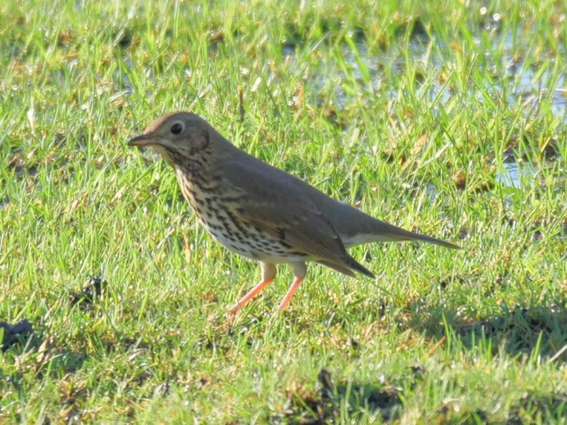 Song Thrush by Rob Porter-Jan 10th, Oxey Marsh