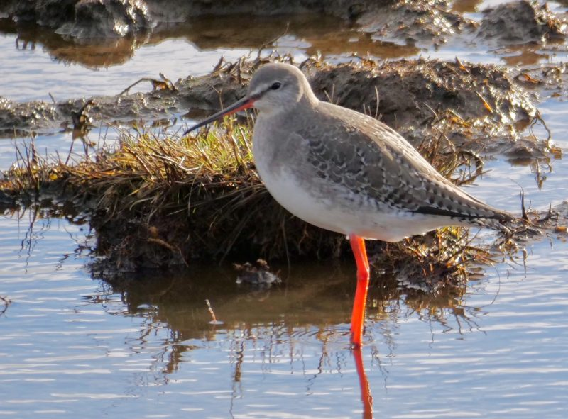 Spotted Redshank by Rob Porter-Jan 10th, Oxey Marsh