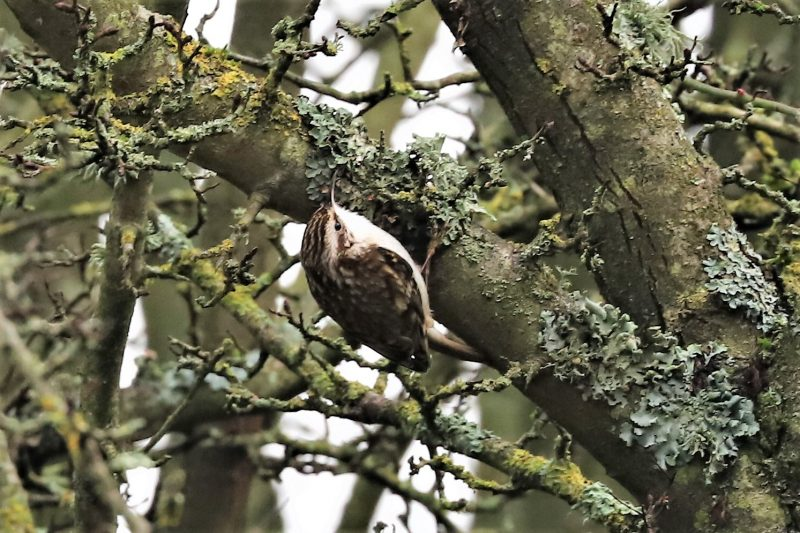 Treecreeper by Brian Cartwright - Jan 16th, Anton Lakes