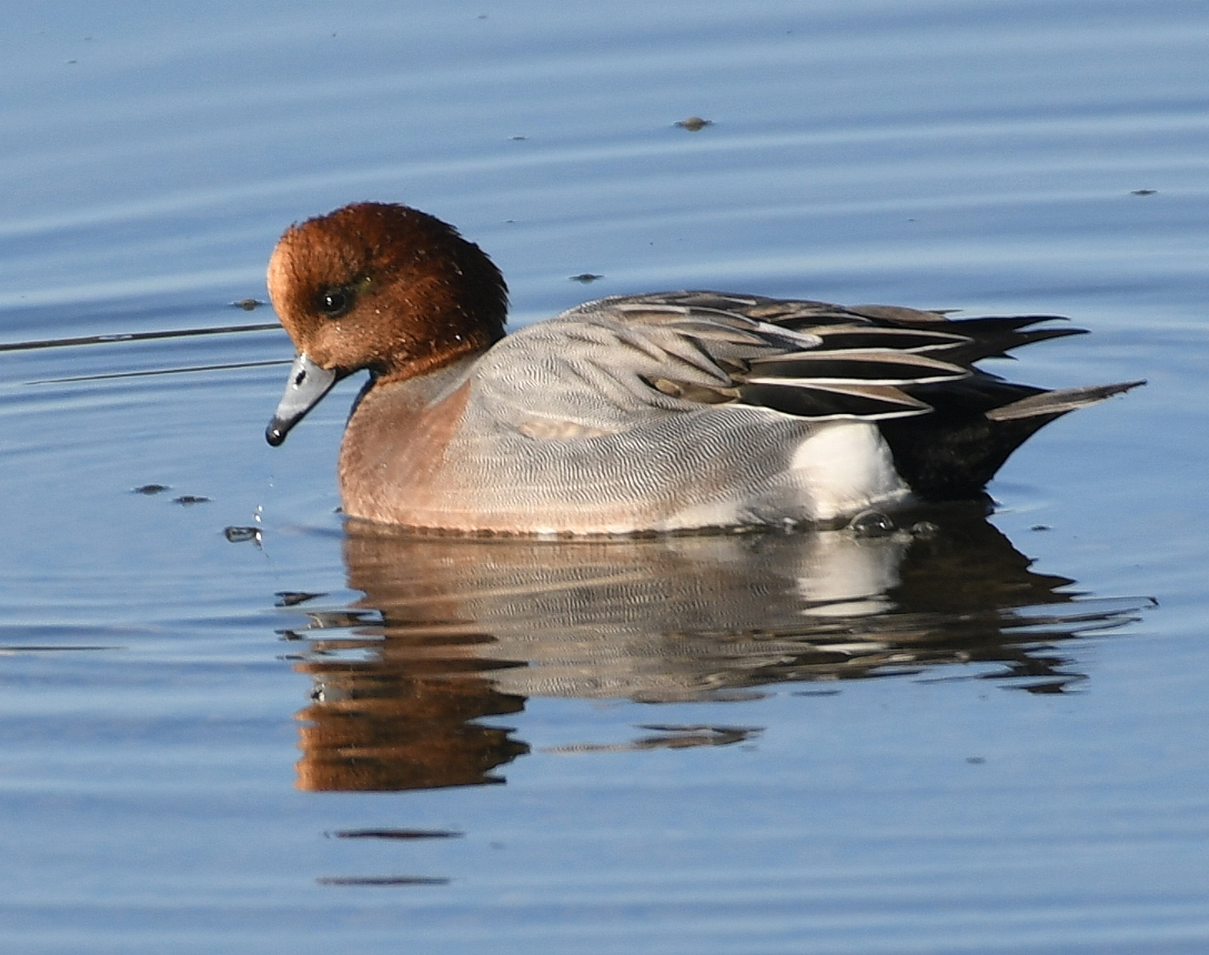 Wigeon by Dave Levy - Jan 20th, Warsash
