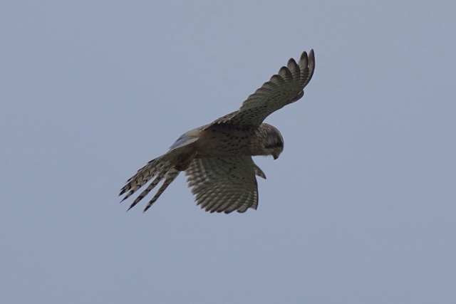 Kestrel by John Scamell - Jan 7th, Hampshire