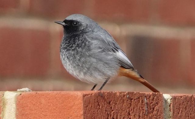 Black Redstart by John Hibberd - Jan 31st, Lee-on-the-Solent