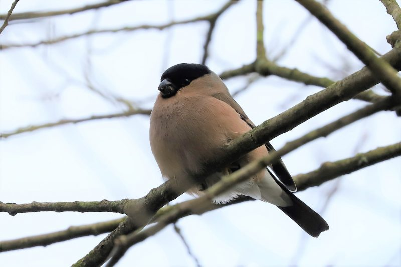Bullfinch by Brian Cartwright - Feb 10th, Anton Lake