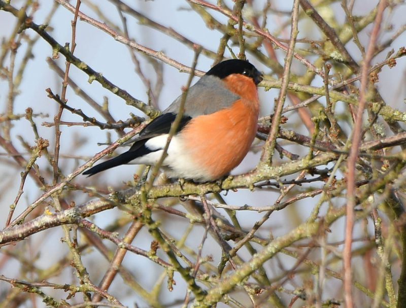Bullfinch by Dave Levy - Feb 11th, Basingstoke