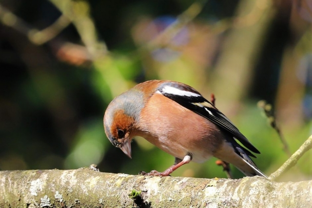 Chaffinch by Brian Cartwright - Feb 6th, Anton Lakes