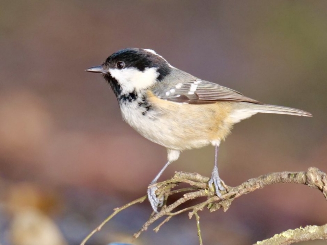 Coal Tit by Rob Porter-Jan 29th, Eyeworth Pond