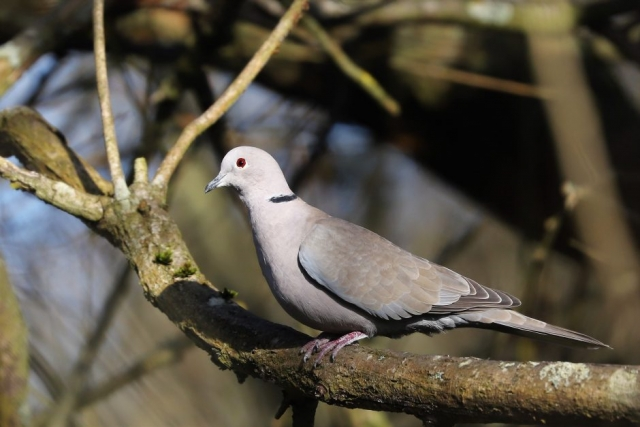 Collared Dove by Brian Cartwright - Feb 12th, Anton Lake