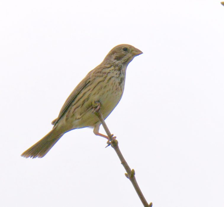 Corn Bunting by Rob Porter-Feb 21st, Toyd Down