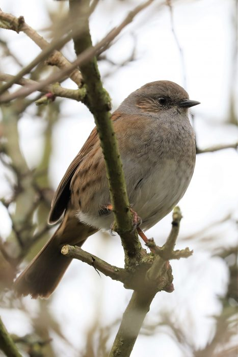 Dunnock by Brian Cartwright - Feb 10th, Anton Lake