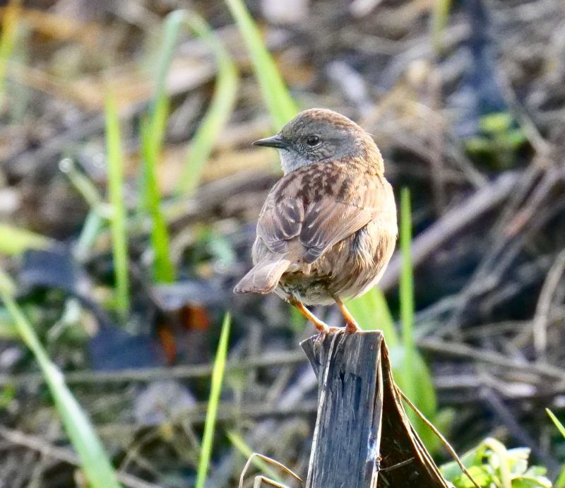 Dunnock by Rob Porter- Feb 1st, Moorcourt Farm, Hillstreet
