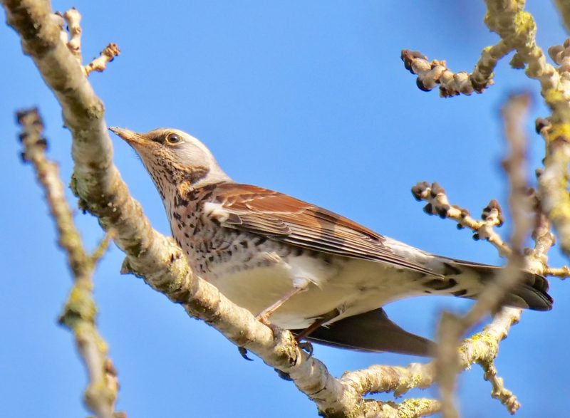 Fieldfare by Rob Porter-Feb 1st, Moorcourt Farm, Hillstreet
