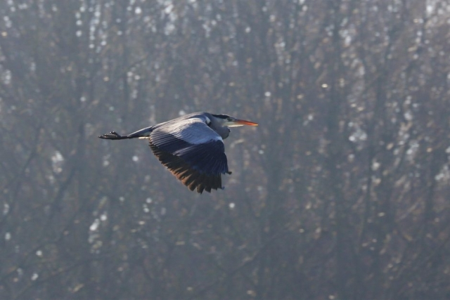 Grey Heron by Brian Cartwright - Feb 6th, Anton Lakes