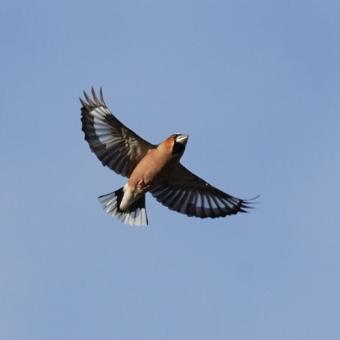 Hawfinch by Martin Bennett - Feb 10th, New Forest