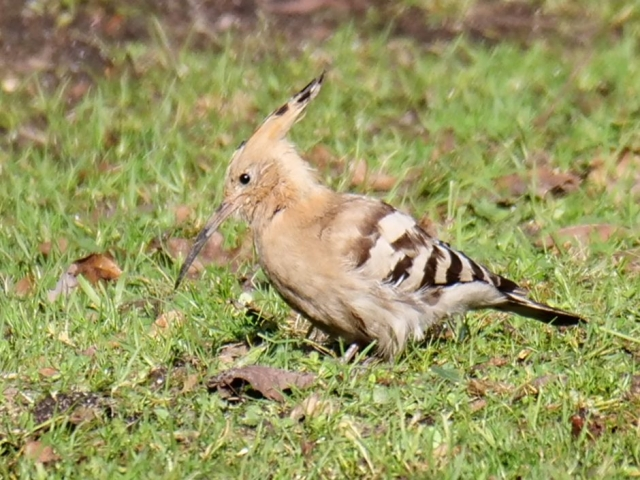Hoopoe by Rob Porter - Feb 4th, Badminston Lane, Fawley