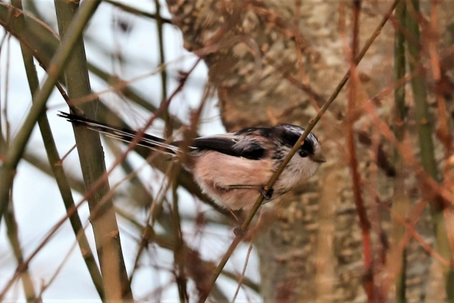 Long-tailed Tit by Brian Cartwright - Feb 1st, Anton Lakes