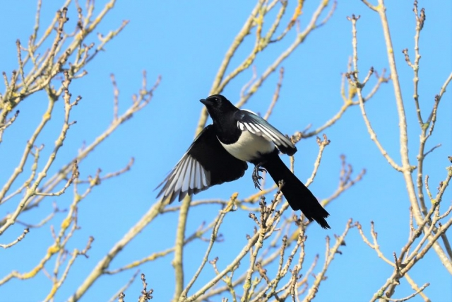 Magpie by Brian Cartwright - Feb 6th, Anton Lakes