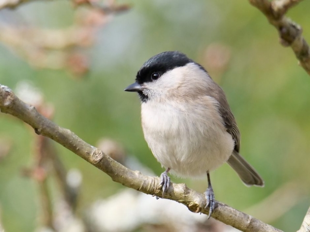 Marsh Tit by Rob Porter-Jan 29th, Eyeworth Pond