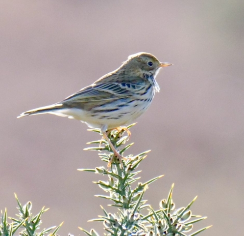 Meadow Pipit by Rob Porter-Feb 12th, Crab Tree Bog, N.F