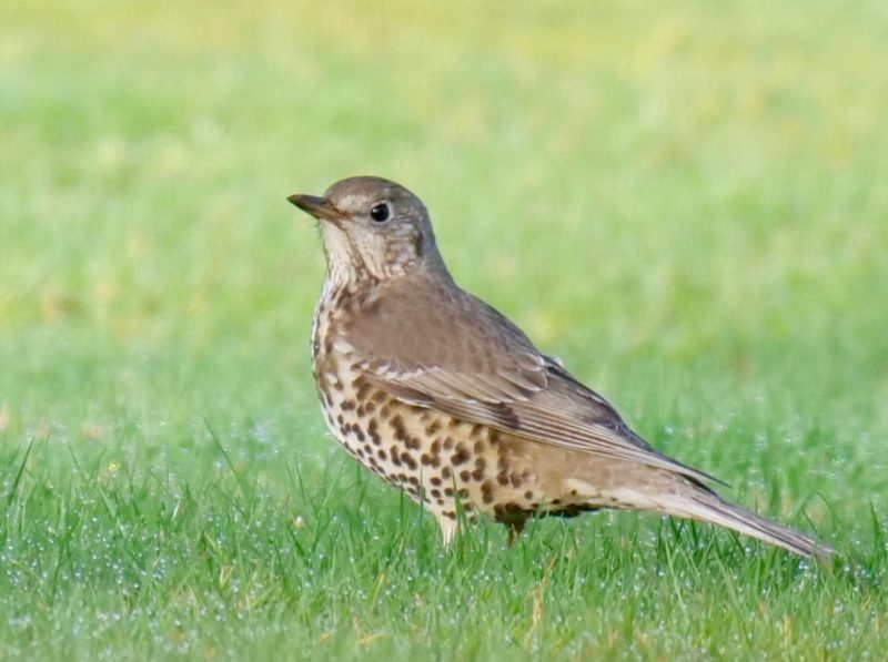 Mistle Thrush by Rob Porter-Feb 1st, Moorcourt Farm, Hill Street