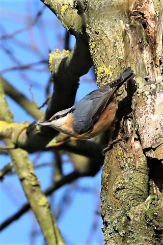 Nuthatch by Brian Cartwright - Feb 12th, Anton Lake