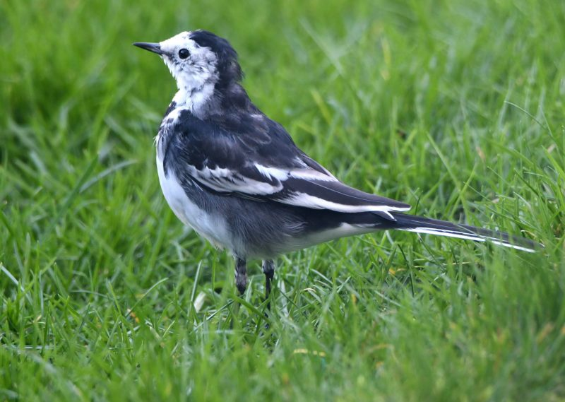 Pied Wagtail by Dave Levy - Feb 11th, Basingstoke
