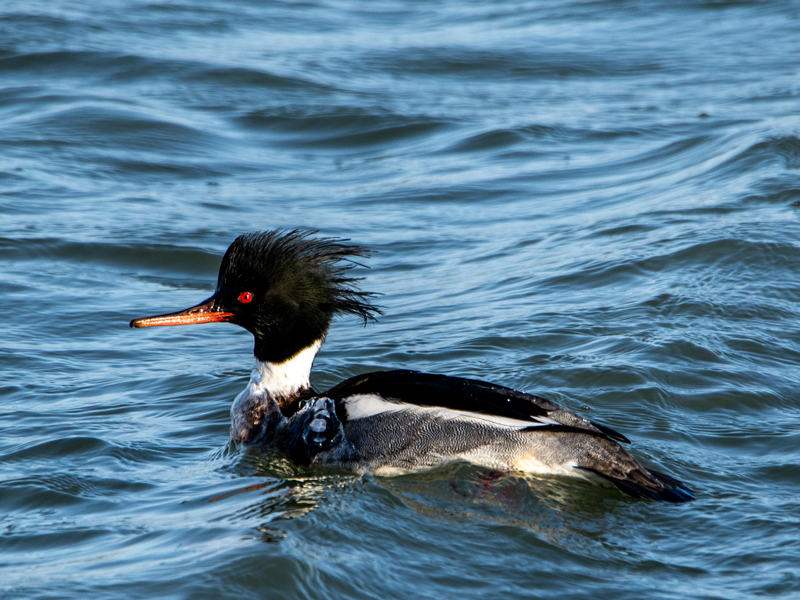 Red-breasted Merganser by Mike Duffy - Feb 17th, Hayling Oysterbeds