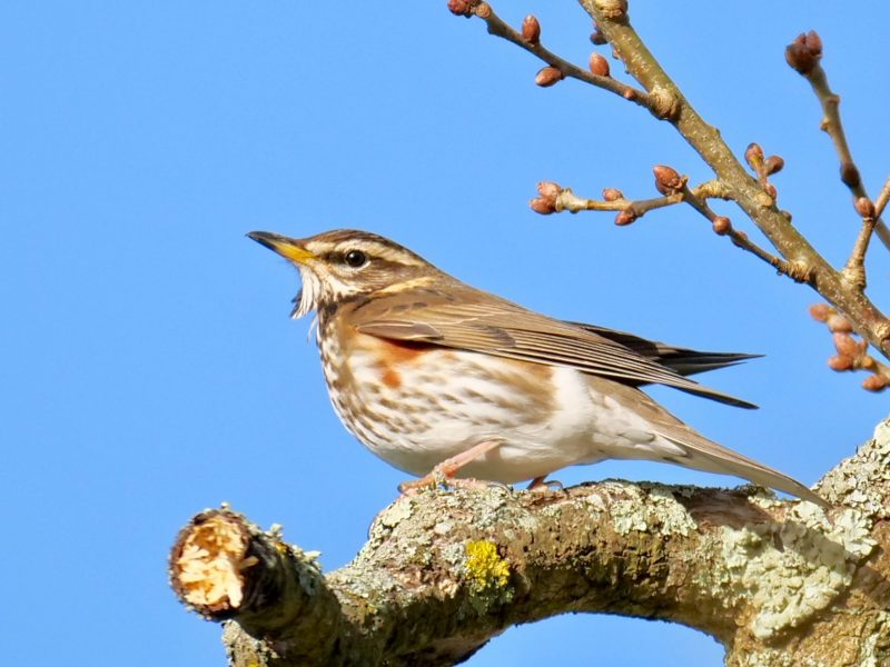 Redwing by Rob Porter-Feb 1st, Moorcourt Farm, Hillstreet