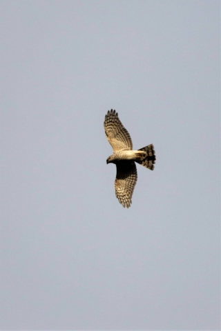 Sparrowhawk by Brian Cartwright - Jan 29th, Anton Lakes
